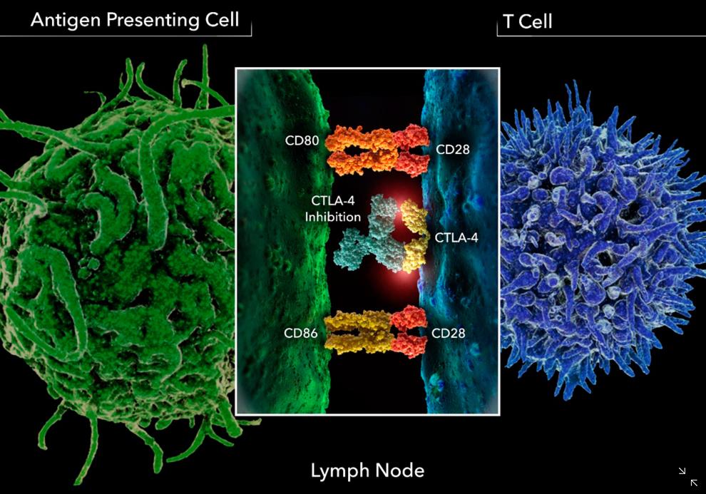 ctla-4-antibody-1-collapse
